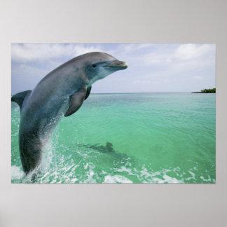 Bottlenose Dolphins Tursiops truncatus) 29 Poster