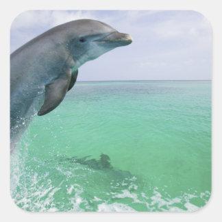 Bottlenose Dolphins Tursiops truncatus) 29 Square Sticker