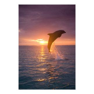 Bottlenose Dolphins Tursiops truncatus) 2 Photo Print