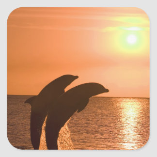 Bottlenose Dolphins Tursiops truncatus) 2 Square Sticker