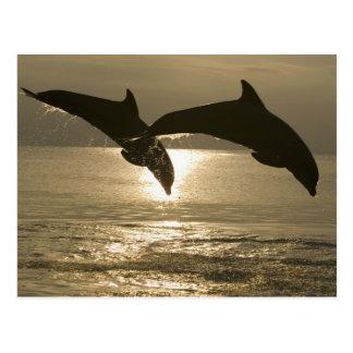Bottlenose Dolphins Tursiops truncatus) 30 Postcard