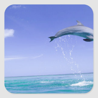 Bottlenose Dolphins Tursiops truncatus) 31 Square Stickers