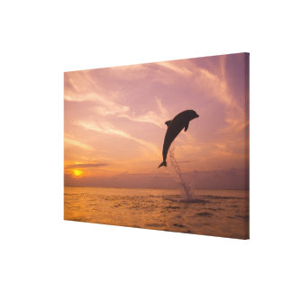 Bottlenose Dolphins Tursiops truncatus) 3 Stretched Canvas Print