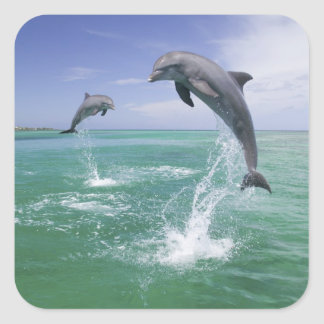 Bottlenose Dolphins Tursiops truncatus) 4 Square Sticker