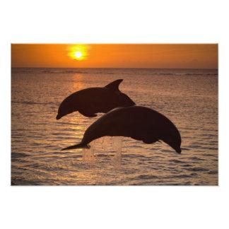 Bottlenose Dolphins Tursiops truncatus) 5 Photo Print
