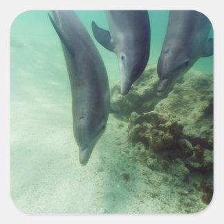Bottlenose Dolphins Tursiops truncatus) 5 Square Sticker
