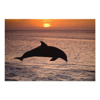 Bottlenose Dolphins Tursiops truncatus) 6 Photographic Print