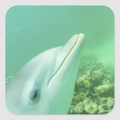 Bottlenose Dolphins Tursiops truncatus) 7 Square Stickers