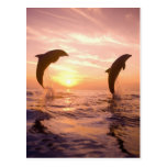 Bottlenose Dolphins Tursiops truncatus) 8 Postcard