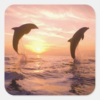 Bottlenose Dolphins Tursiops truncatus) 8 Square Sticker