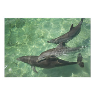 Bottlenose Dolphins Tursiops truncatus) 9 Photo Print