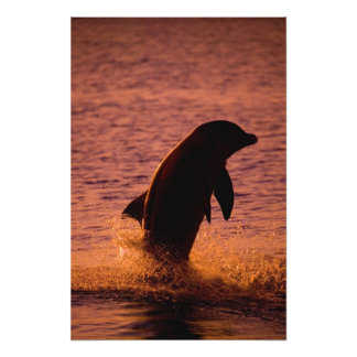 Bottlenose Dolphins Tursiops truncatus) Photo Print