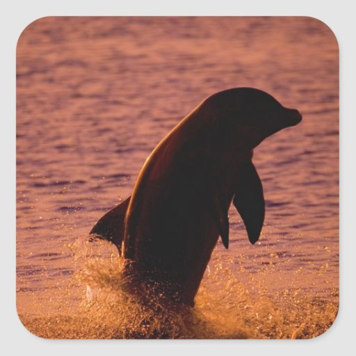 Bottlenose Dolphins Tursiops truncatus) Square Stickers