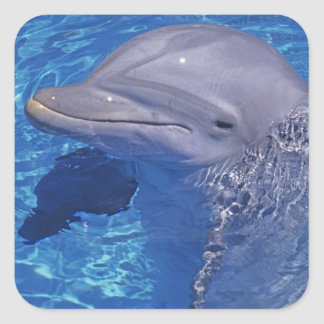 Bottlenosed Dolphin, Tursiops Truncatus Square Sticker