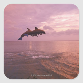 Bottlenosed Dolphins Jumping at Sunset Square Sticker