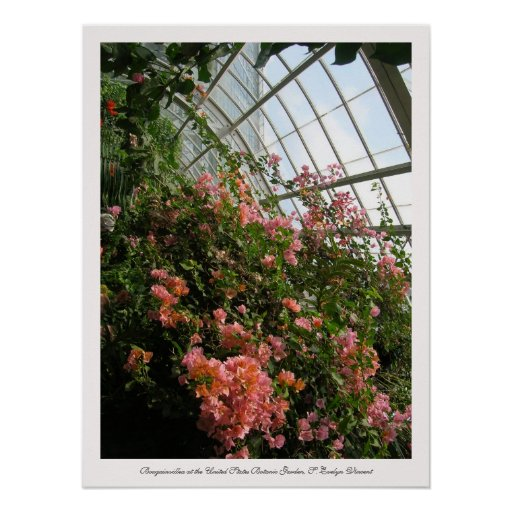 Bougainvillea at the United States Botanic Garden Posters