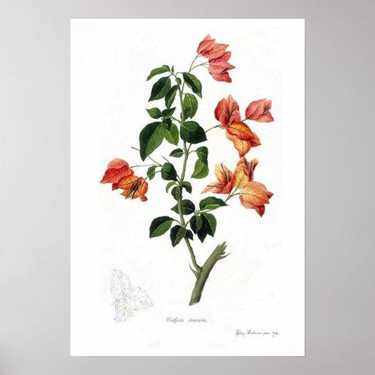 Bougainvillea spectabilis poster