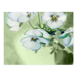 Bouquet of White Pansies on Green Background Postcard