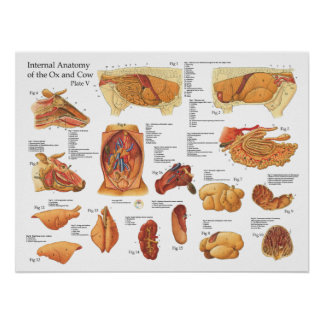 Bovine Cow Internal Anatomy Poster