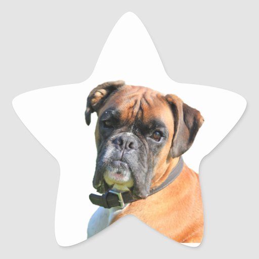 Boxer dog beautiful photo portrait star stickers