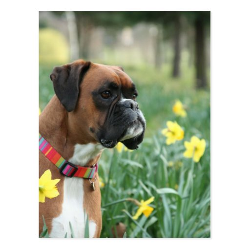 Boxer Dog in Daffodils Post Card