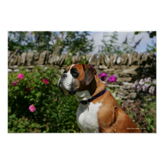 Boxer Dog in the Flowers Poster