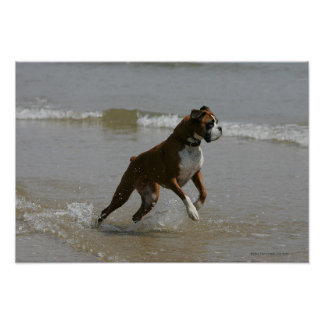 Boxer Dog in Water Poster