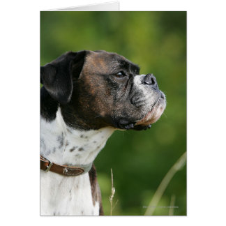 Boxer Dog Profile Card