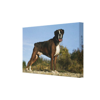 Boxer Dog Show Stance Stretched Canvas Print