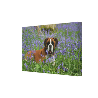 Boxer Laying in Bluebells Canvas Print