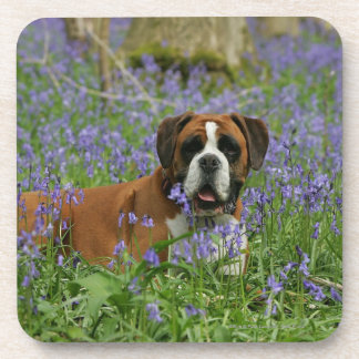 Boxer Laying in Bluebells Coasters