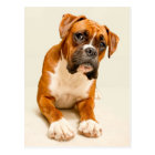 Boxer puppy on ivory cream backdrop. postcard