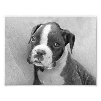 Boxer puppy photo print