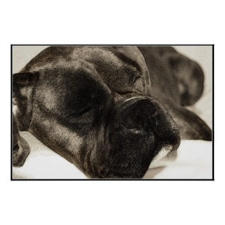 Boxer sleeping poster