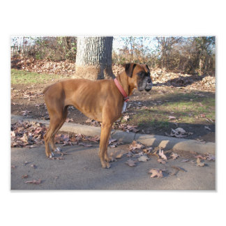 Boxer with an Underbite Standing Outside Photograph