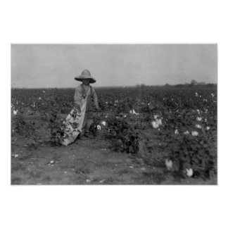 Boy Picking Cotton Photograph West, Texas Poster