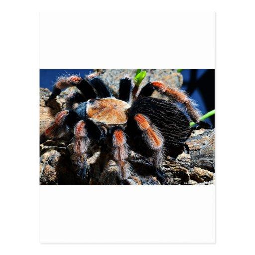 Brachypelma boehmei postkarten