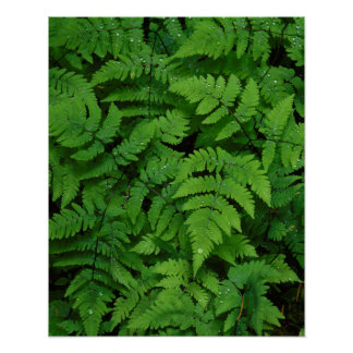 Bracken fern with rain drops, Washington State Poster