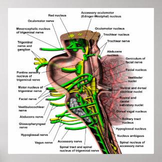 Brain stem showing origin of various nerves poster