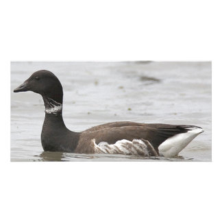 Brant Goose Holds Head Straight Up While Floating Photo Card Template