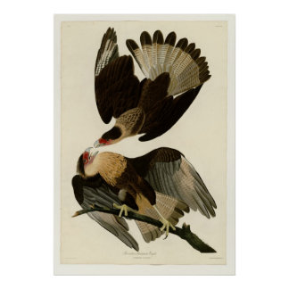 Brasilian Caracara Eagle Posters
