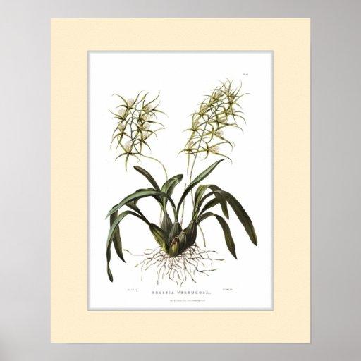Brassia verrucosa,Custom border Poster