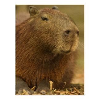 Brazil Pantanal Matto Grosso Capybara Postcard