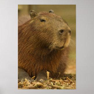 Brazil, Pantanal, Matto Grosso. Capybara Poster