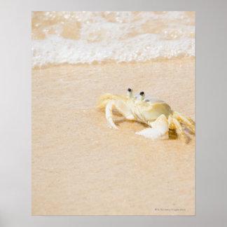 Brazil, Rio de Janeiro, Buzios, Crab on Poster