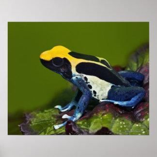 Brazilian Cobalt Dart Frog Dendrobates Print