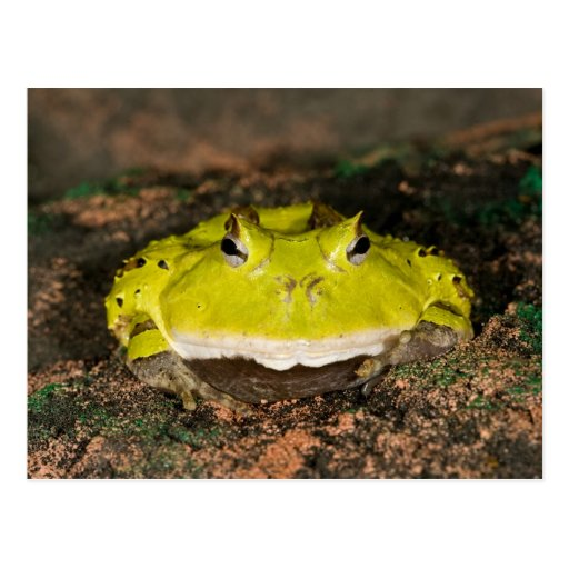 Brazilian Horn Frog, Ceratophrys cornuta, 2 Post Card