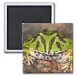 Brazilian Horn Frog, Ceratophrys cornuta, Refrigerator Magnet