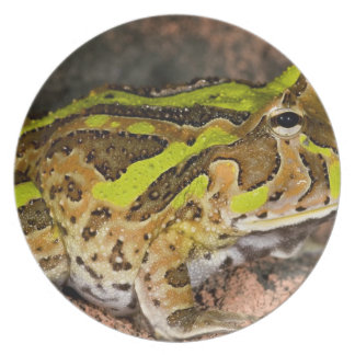 Brazilian Horn Frog, Ceratophrys cornuta, Native Plate