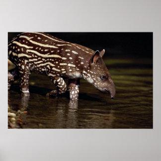 Brazilian Tapir, young calf beside river Print